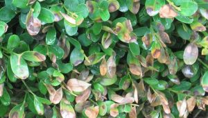 boxwood blight example showing browned leaves