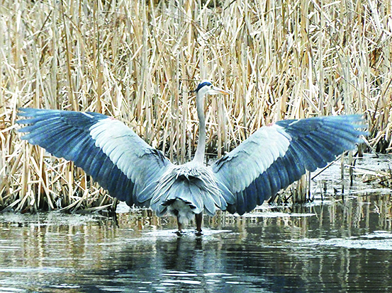 Great Blue Herons landing on a pond with wings open