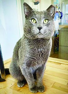 Duncan, a silver kitty looking handsome waiting for his forever home.
