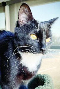 tulip the tuxedo cat sitting by a window in the cat shelter waiting for a new home