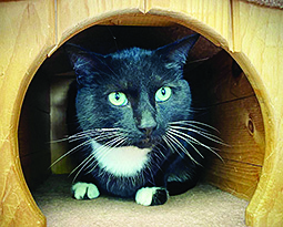 beasley a black tuexeo cat sitting in a wood cat tree looking in the distance hoping to be adopted soon