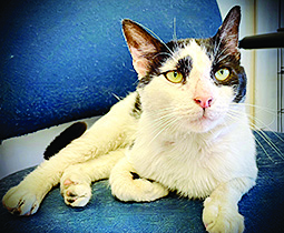 white and black cat with yellow eyes sitting on chair looking adoptable