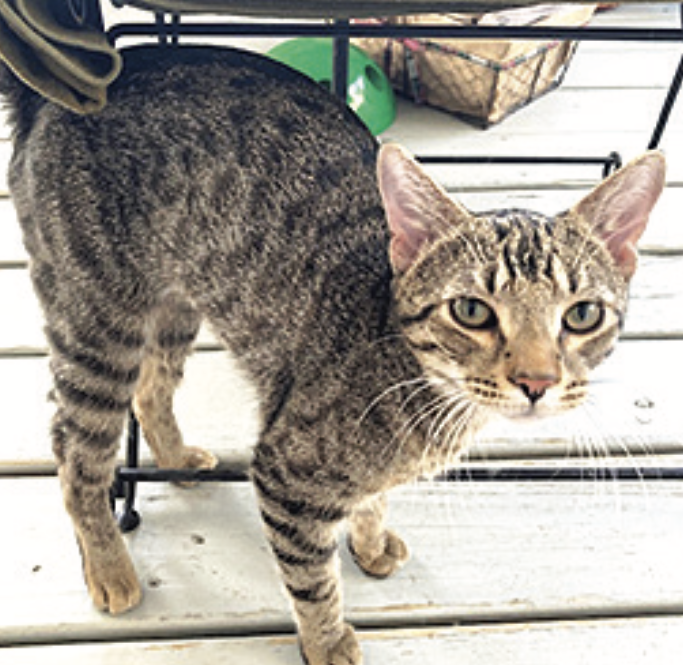 perrin the tabby cat looking for his new home