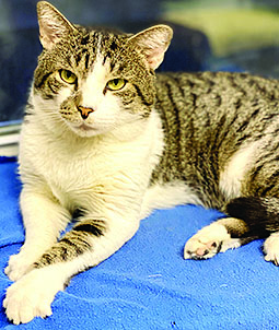 white and tabby cat looking longingly into camera, hoping for a new home