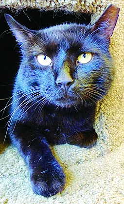 black cat looking handsome while he waits for his new home