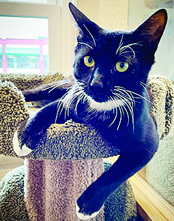 ross a handsome tuxedo cat sitting on top of a cat tree looking irritated that he hasn't found a new home yet.