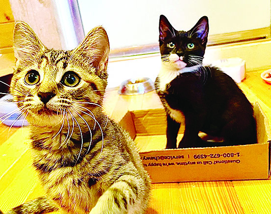 tuxedo and tiger kittens looking cute for adoption photo