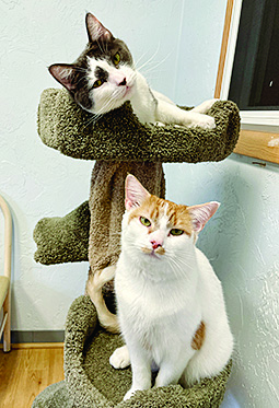 two beautiful kitties looking for a new home, cat on the cat tree is brown with a white chest and the other kitty is white with an orange crown and ears and orange spot on their belly