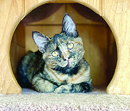 tortie cat looking beautiful inside of a round cat tree hole